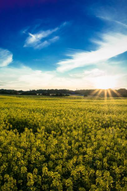 Campos de Amarela - foto de acervo