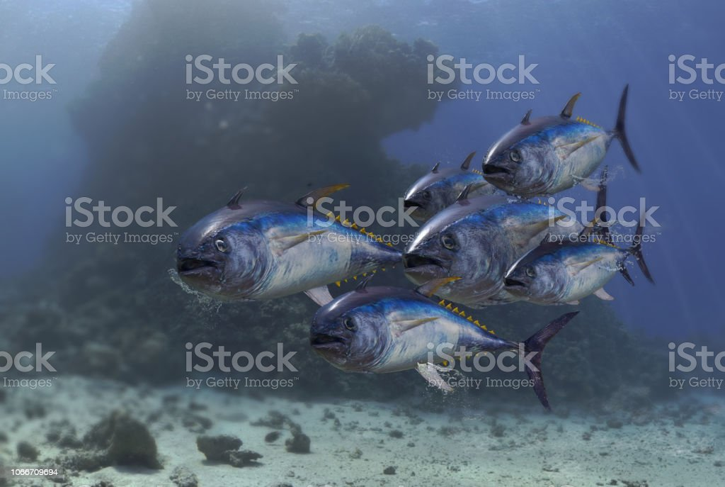 Yellow fin tuna fish school under the sea swimming together 3d render stock photo
