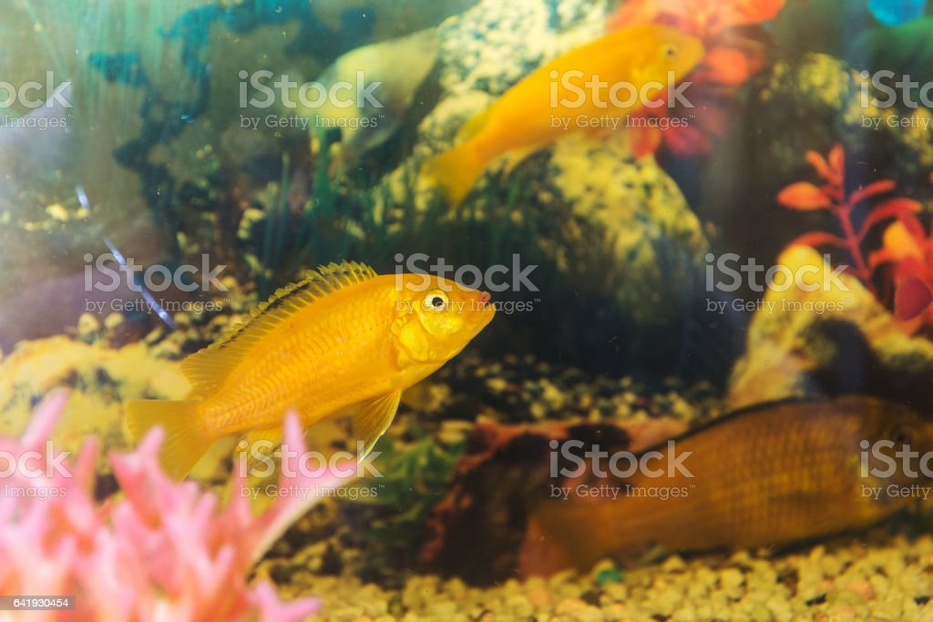 yellow fish in the aquarium stock photo