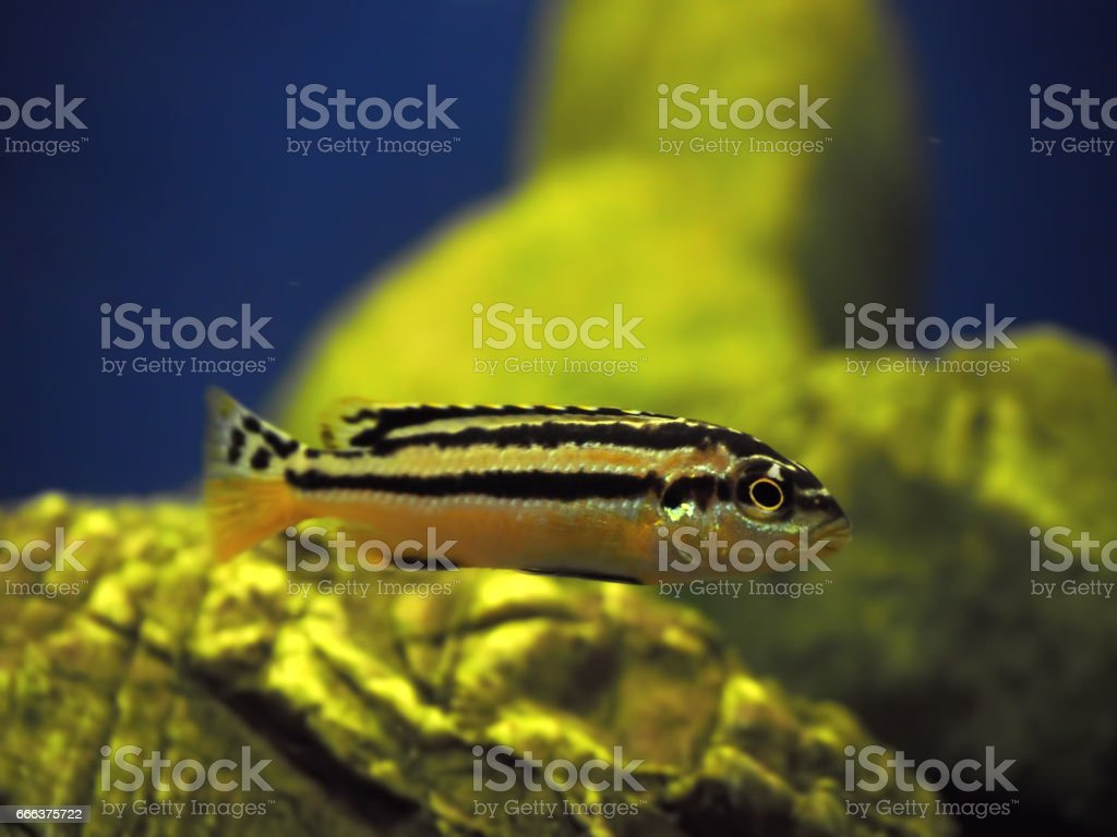 Yellow fish Melanochromis auratus with black stripes near  rocks stock photo