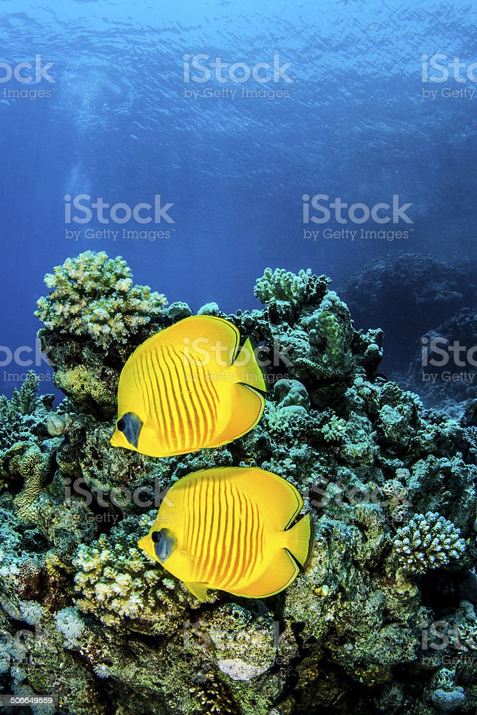 Yellow Fishes stock photo