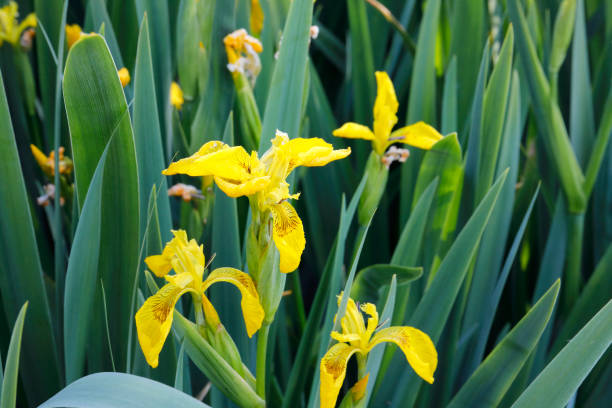 Yellow flag irises green leaves in water stock photo
