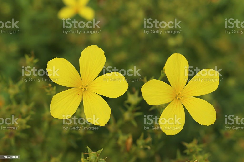Yellow flax flower linum flavum stock photo more pictures of 2015 yellow flax flower linum flavum royalty free stock photo mightylinksfo