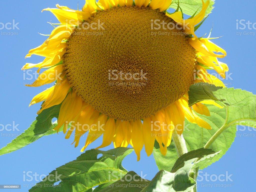 Yellow flourishing sunflower royalty-free stock photo