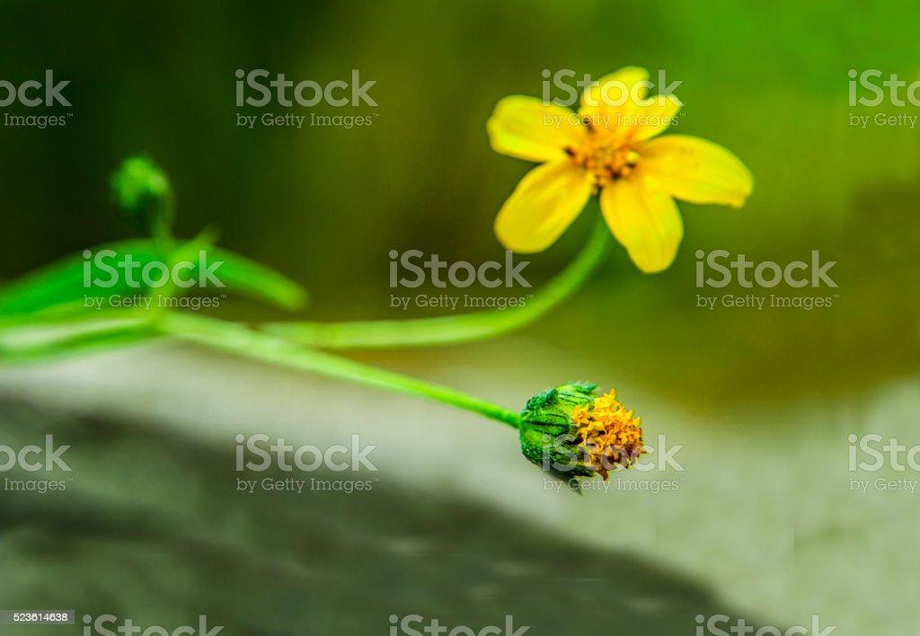 yellow flower 3 evolutions... stock photo
