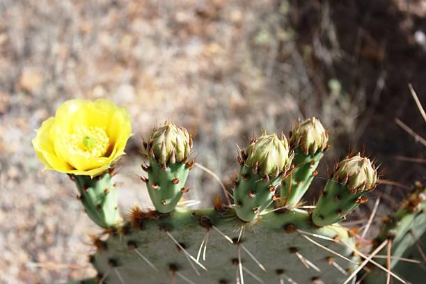 amarilla flor y gustos de higo chumbo en el desierto - opuntia robusta fotografías e imágenes de stock