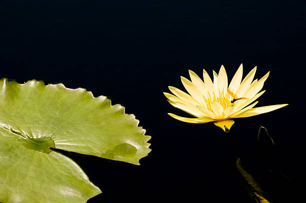 Yellow flower and water lily stock photo