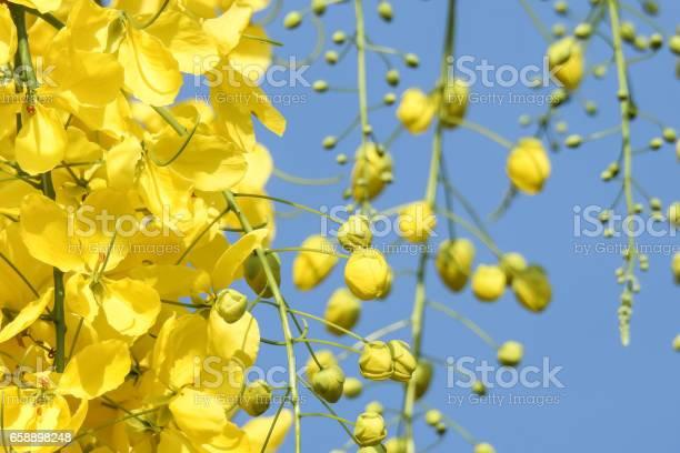 Yellow flower ans clear blue skygolden showercassia fistula picture id658898248?b=1&k=6&m=658898248&s=612x612&h=ms3c6ij6dx6qt3iej5ufgnkeesw8tjug5wo32lijgf0=