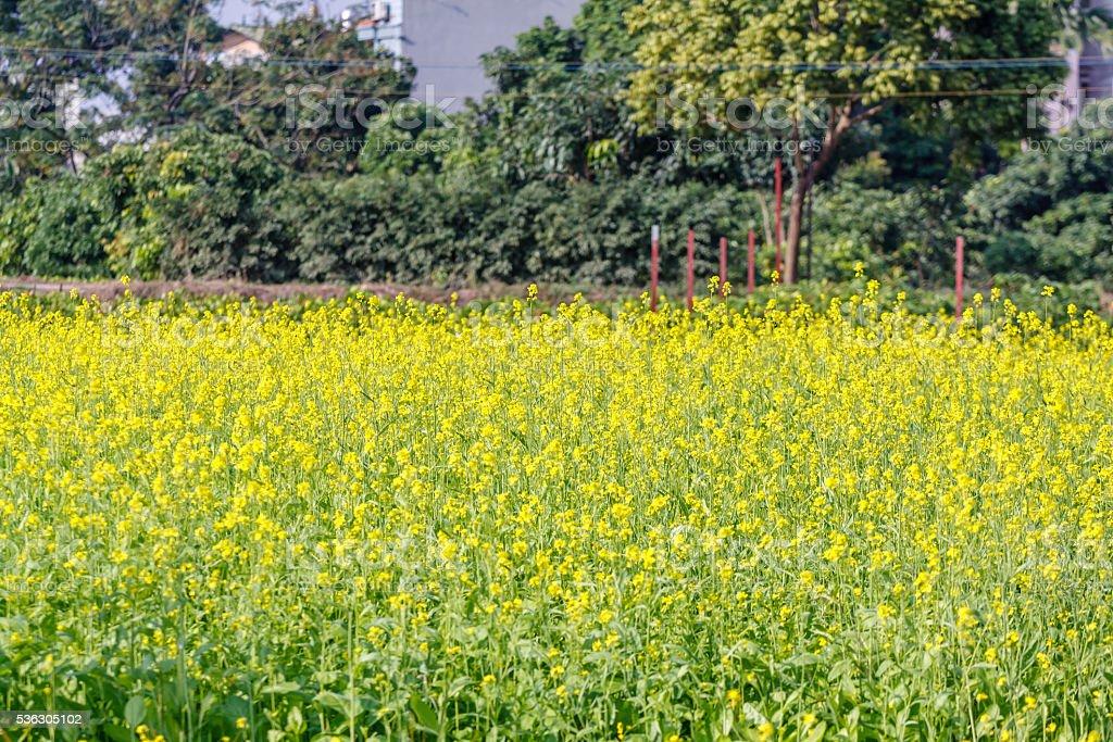Yellow flower at Hanoi, Vietnam stock photo