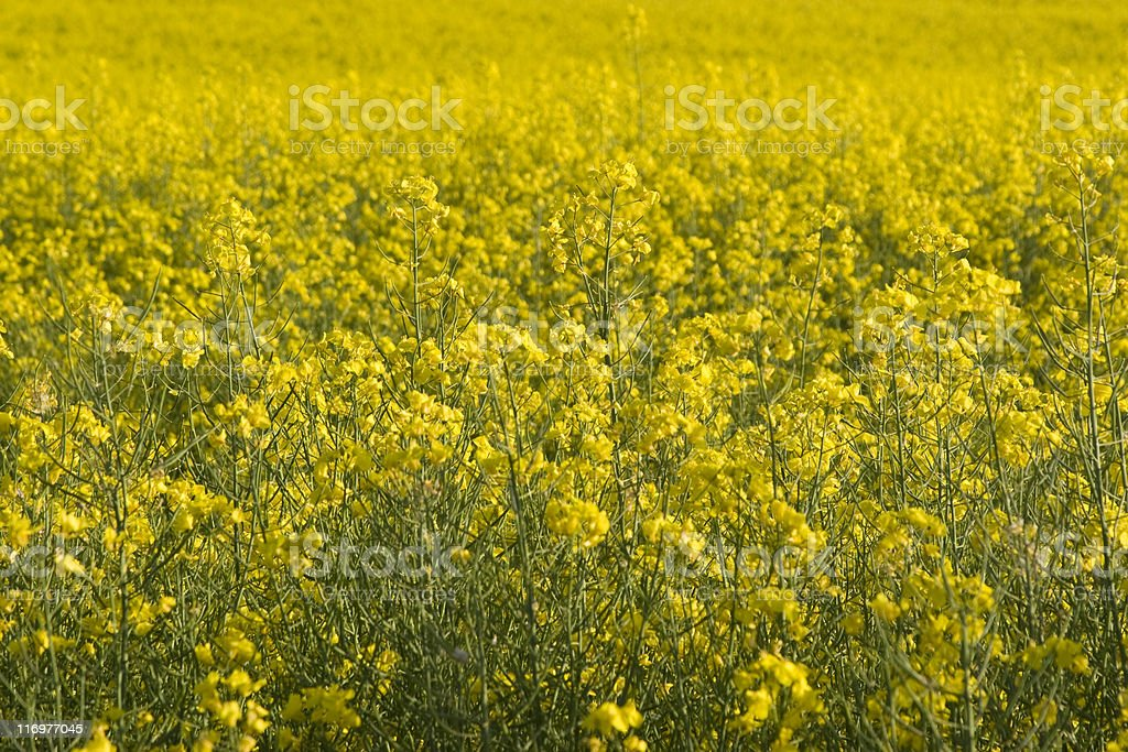 Yellow flower background: Rape field royalty-free stock photo