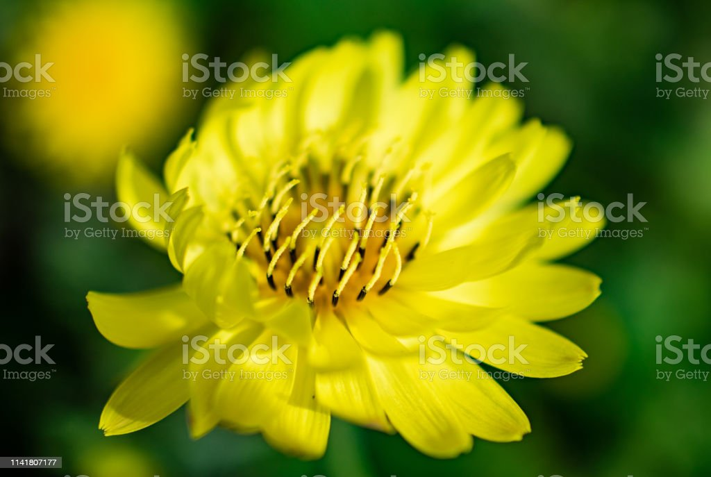 yellow flower bloom in spring stock photo