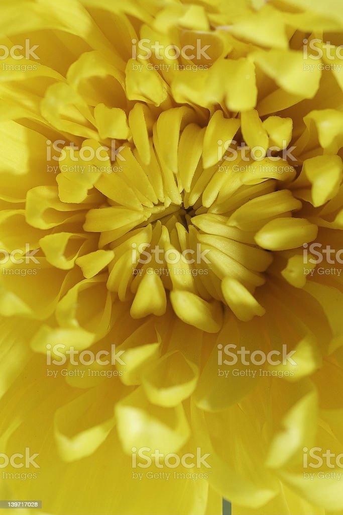 Yellow Flower Burst stock photo