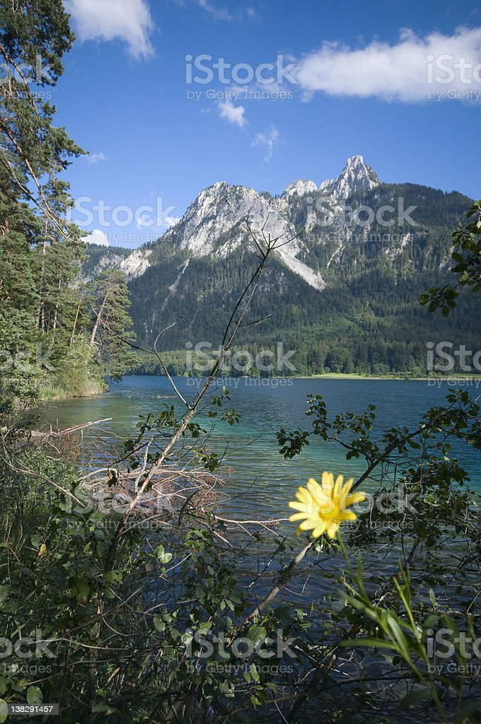 yellow flower by the Alpsee stock photo