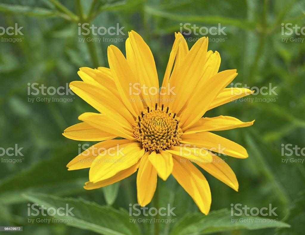 yellow flower daisy royalty-free stock photo