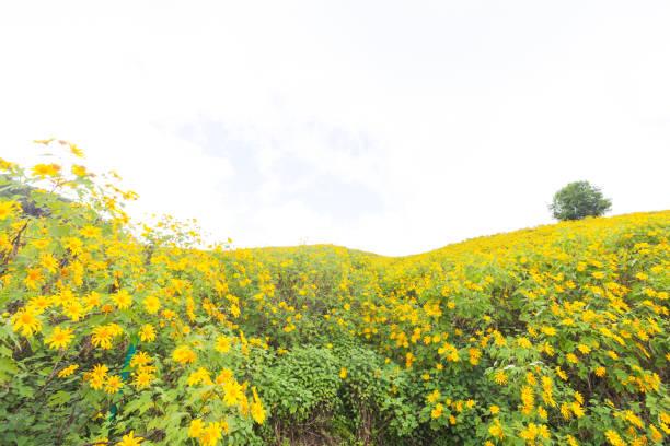 Gelbes Blumenfeld – Foto