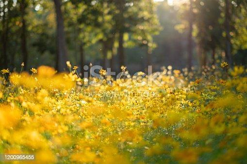 Evening yellow flower field background