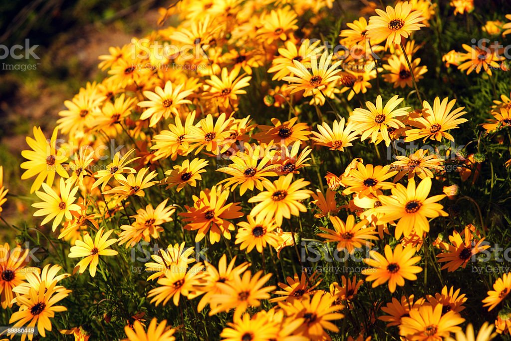 Yellow flower field. royalty-free stock photo