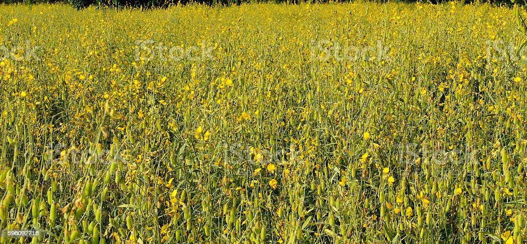 Yellow flower fields closeup farmland royalty-free stock photo
