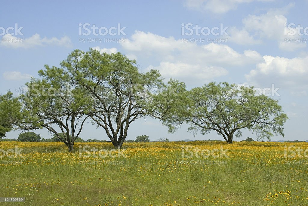 Yellow Flower Filled Pasture stock photo