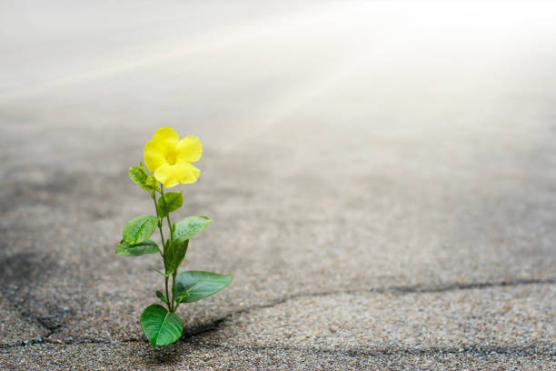 Yellow flower growing on crack street, hope concept Yellow flower growing on crack street, hope concept reincarnation stock pictures, royalty-free photos & images