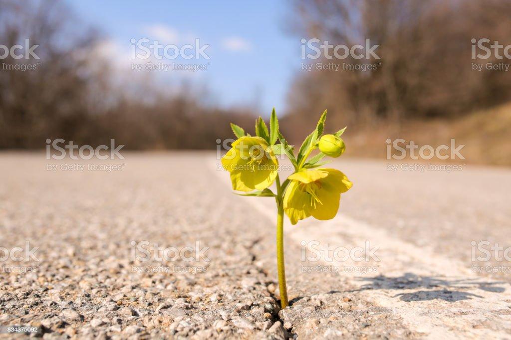 Yellow flower growing on crack street stock photo