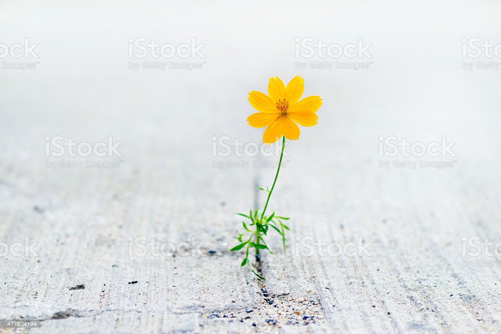 Yellow flower growing on crack street, soft focus stock photo