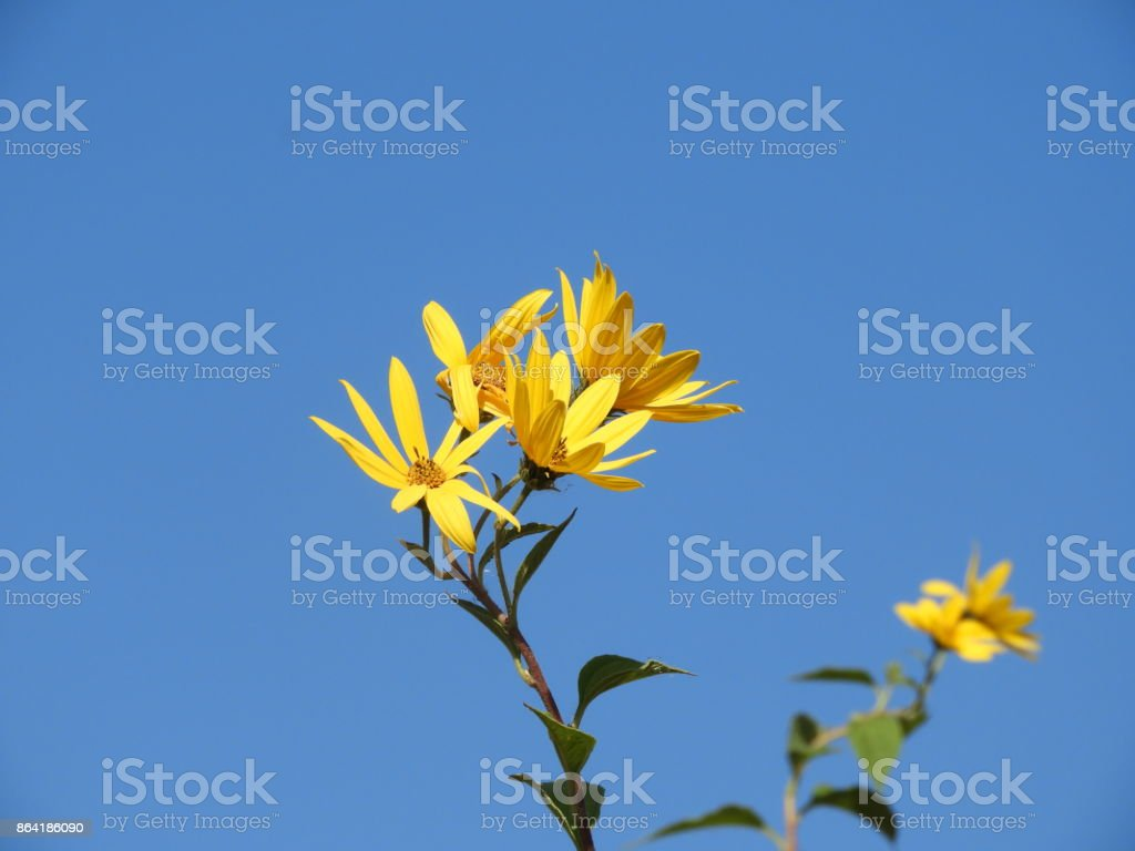 Yellow flower h royalty-free stock photo
