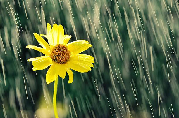 Yellow flower in drops of rain. stock photo
