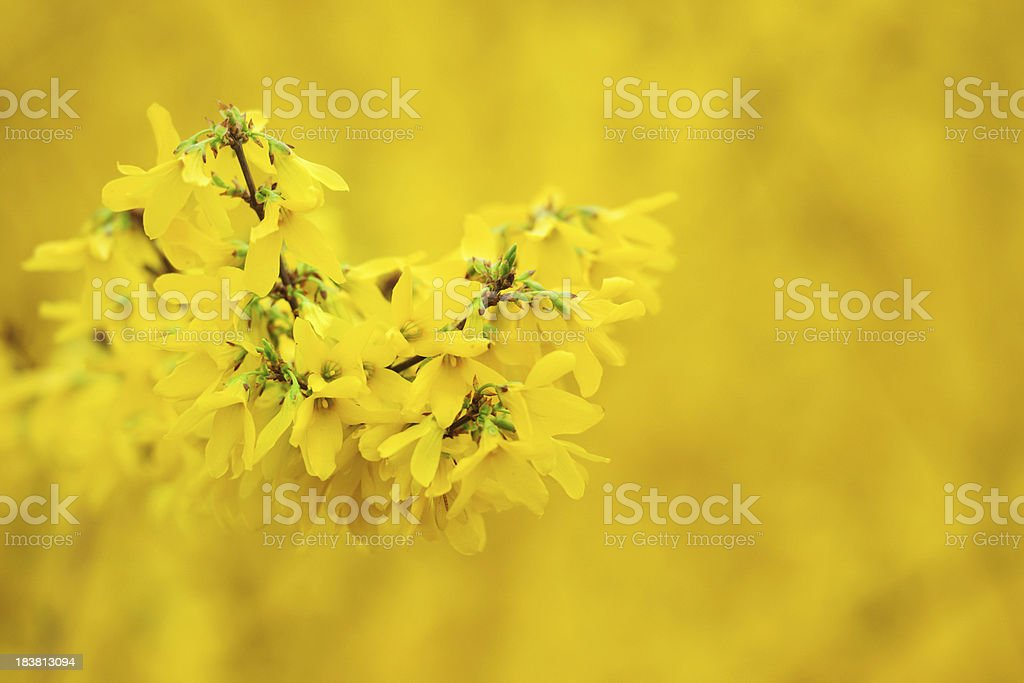 Yellow Flower Jasmine in Spring - XLarge royalty-free stock photo