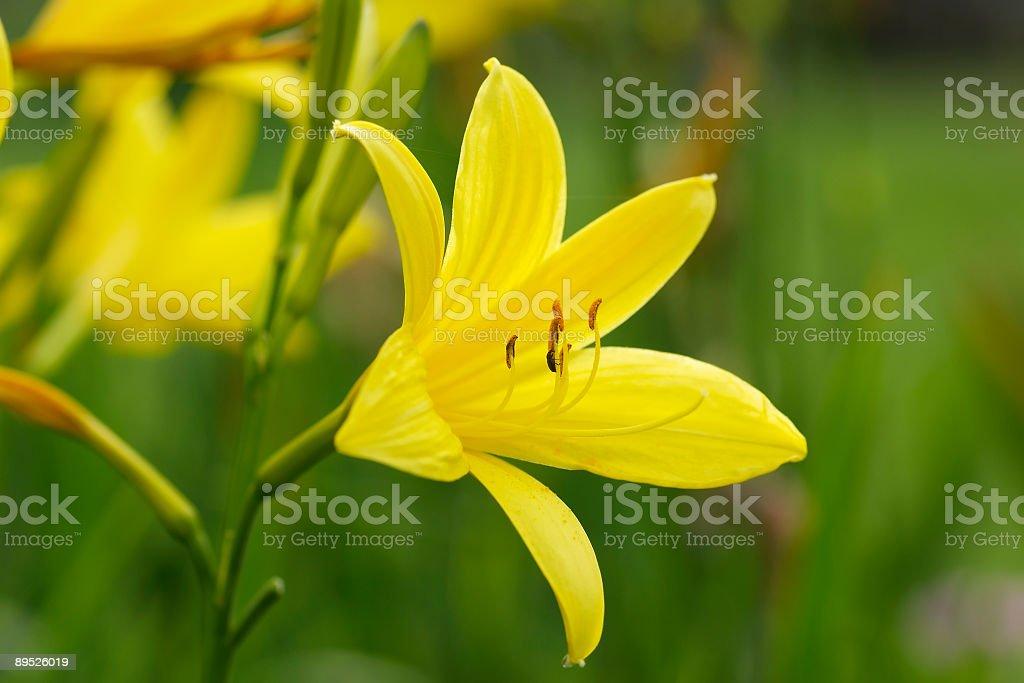 Желтый цветок lily Стоковые фото Стоковая фотография