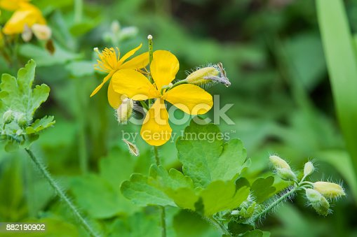 Yellow flower medicinal plants celandine chelidonium on a background yellow flower medicinal plants celandine chelidonium on a background of green leaves stock photo more pictures of backgrounds istock mightylinksfo