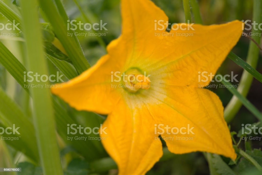 Yellow flower of blooming pumpkin royalty-free stock photo