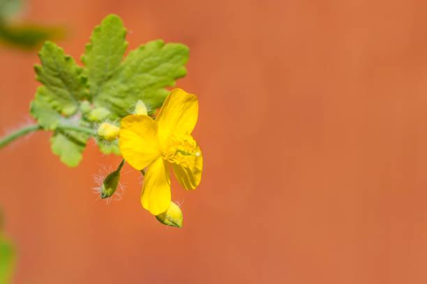 gelbe blume von schöllkraut (chelidonium majus) - schöllkraut gegen warzen stock-fotos und bilder
