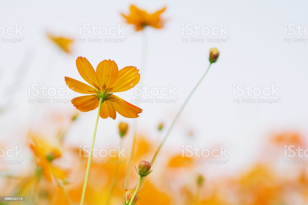 Yellow flower of cosmos blossom in summer royalty-free stock photo