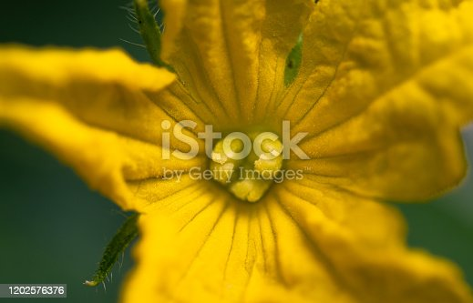 Small cucumber (cucumis) flower growing in greenhouse, illuminated by soft daylight. Close-up.