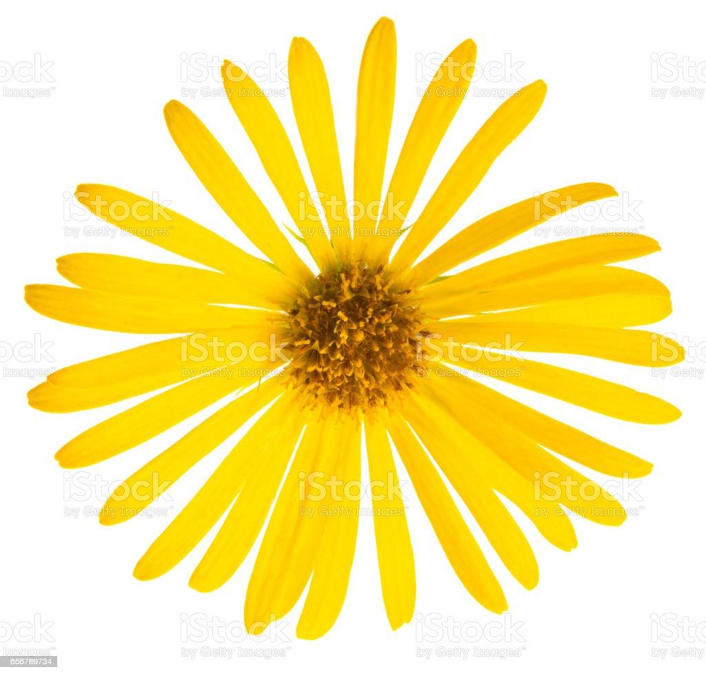 Yellow Flower Of Daisy Original Botanical Name Doronicum Orientale