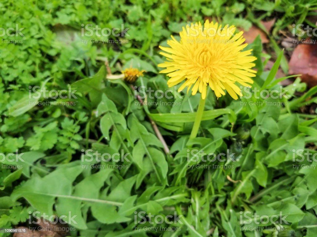 Amarillo flor de diente de León - foto de stock