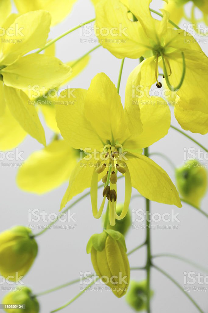 Yellow flower of Golden shower (Cassia fistula) stock photo