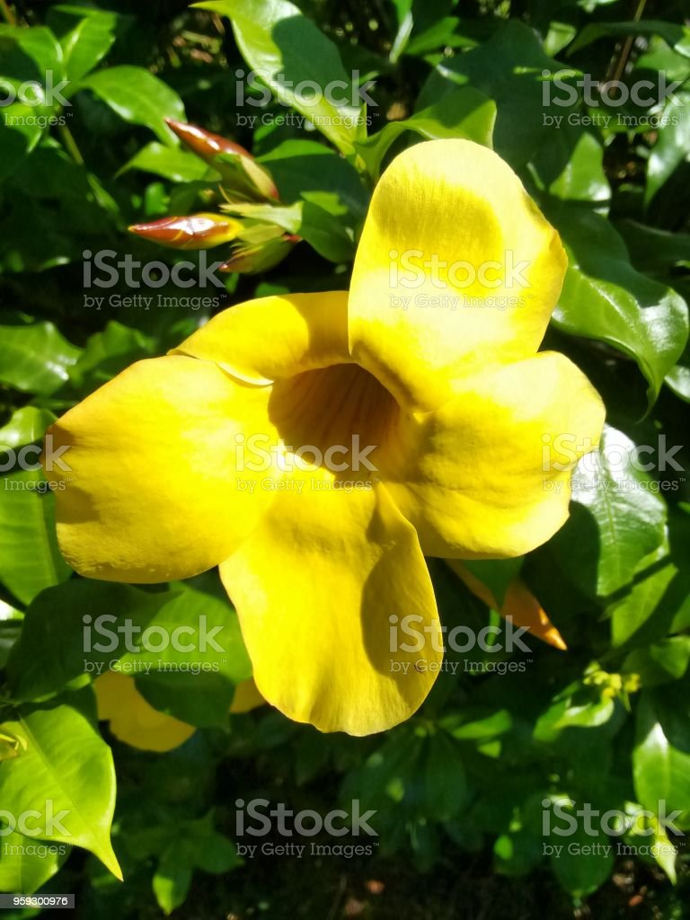 Yellow Flower Of Golden Trumpet Vine Stock Photo More Pictures Of