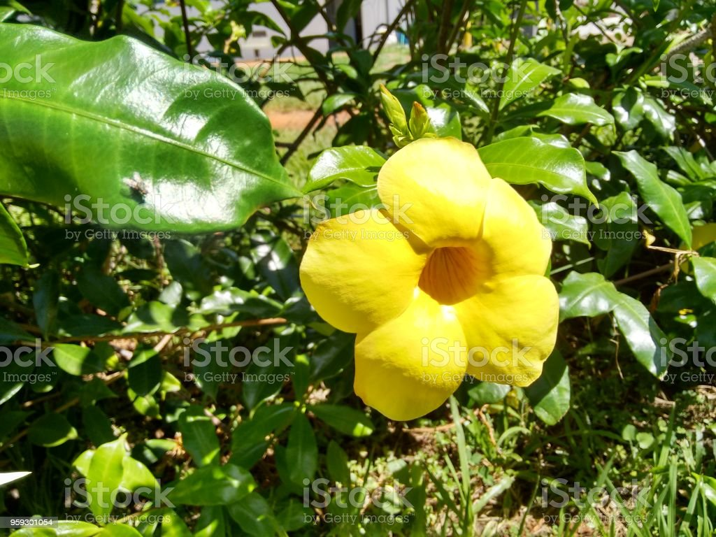 Yellow flower of golden trumpet vine stock photo