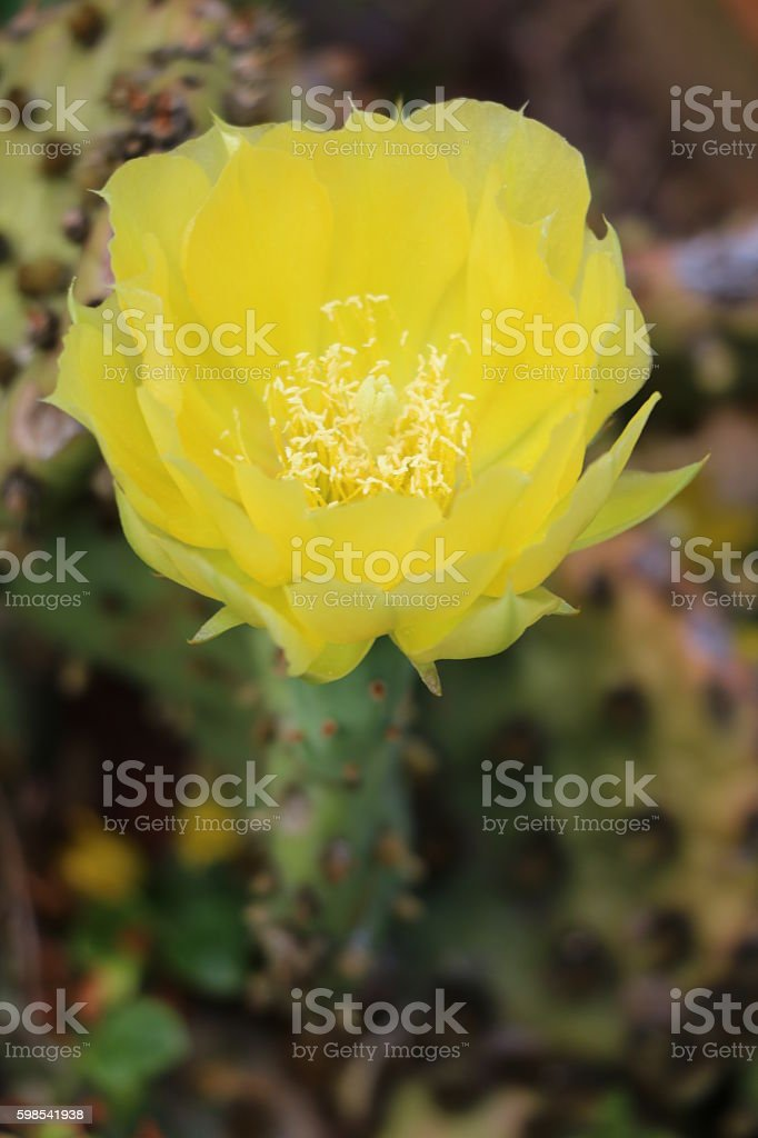 yellow flower of prickly pear cactus in summer, Germany photo libre de droits