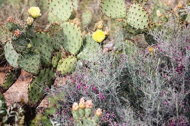 amarilla flor de higo chumbo en south mountain park de phoenix - opuntia robusta fotografías e imágenes de stock