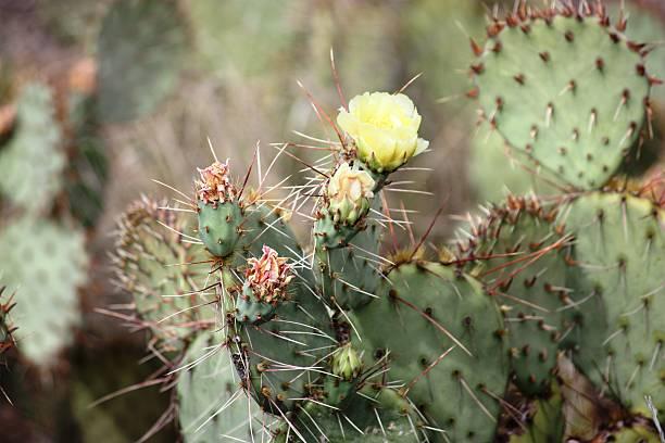 amarilla flor de higo chumbo en el desert, california, usa - opuntia robusta fotografías e imágenes de stock