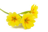 Yellow flower of primrose, isolated on white background
