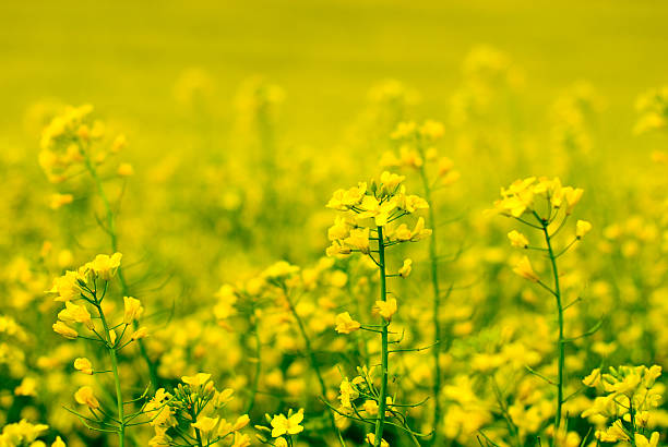 yellow flower of rape  canola stock pictures, royalty-free photos & images