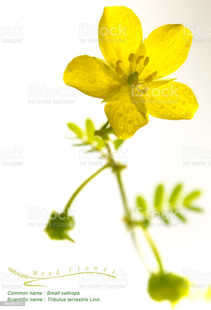 Yellow flower of small caltrops weed isolated flower on white yellow flower of small caltrops weed isolated flower on white background royalty free stock mightylinksfo