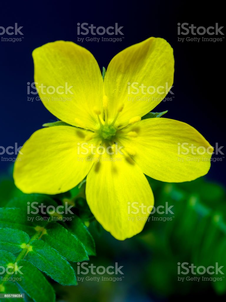 Yellow Flower Of Small Caltrops Weed Stock Photo More Pictures Of