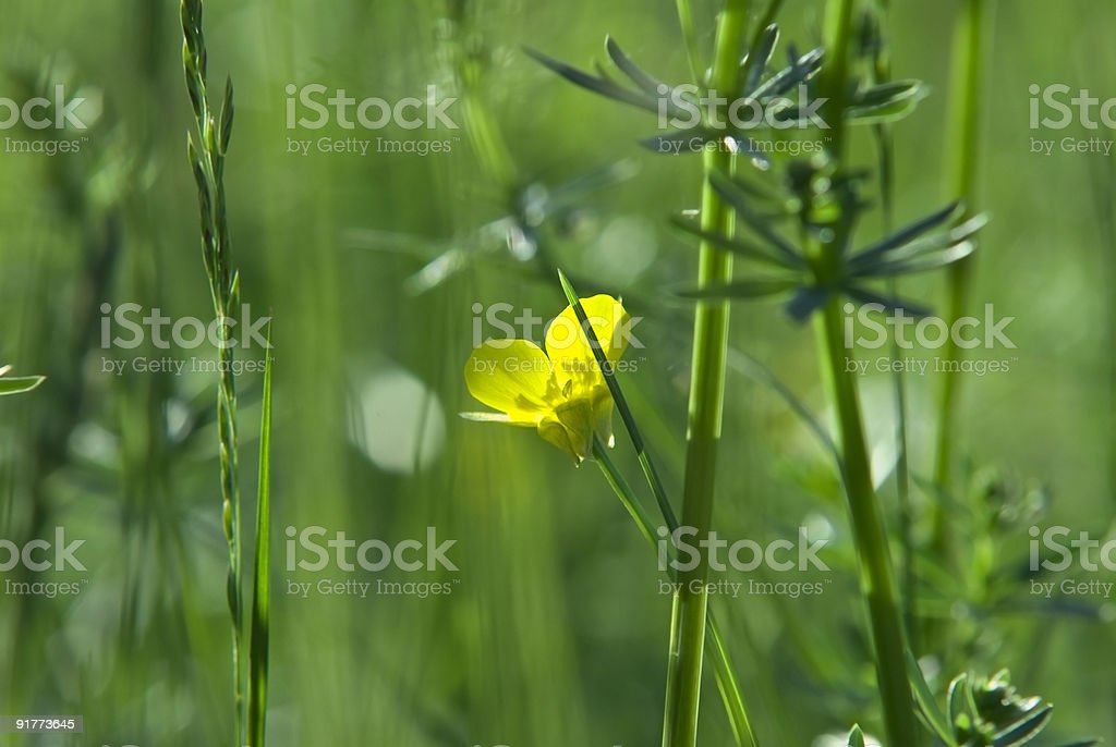 Yellow flower on a meadow royalty-free stock photo