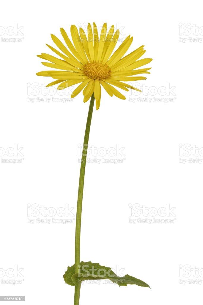 Yellow flower on a white background photo libre de droits