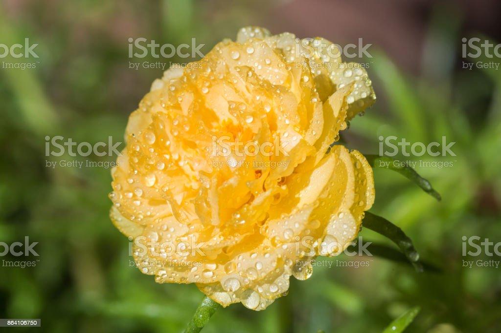 Yellow flower on nature background, Common Purslane. royalty-free stock photo